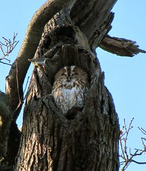 Christchurch Park, Ipswich, UK (wonky knee) Tags: uk suffolk mabel ipswich christchurchpark chestnuttrees chouette hibou tawnyowl ancienttrees mabeltheowl