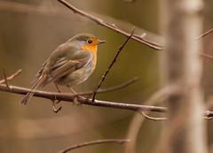 L'oiseau du bûcheron (Eric Penet) Tags: france animal rouge hiver gorge oiseau forêt nord rougegorge sauvage bûcheron passereau mormal locquignol