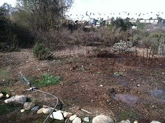 Watering bone-dry and rock hard soil. (Weeding Wild Suburbia) Tags: spnp