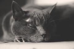 sleepy monday (Bianca Dagheti) Tags: bw cat sleep bn sleepy monday sangria gatto dormire dorme gatta