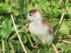 little chick (manonvanderburg) Tags: spring goose chick lente kuiken egyptiangoose nijlgans alopochen aegyptiacus