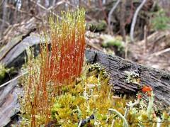 Glatine \ Gelatin (deplour) Tags: fungi waterdrops mousse gouttes gelatin glatine