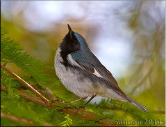 Black-throated Blue Warbler (fwsalmon) Tags: florida winterpark migration canon100400l blackthroatedbluewarbler dendroicacaerulescens meadgardens canon7d