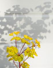 Blomeskuggar (Halvor Skurtveit) Tags: flowers shadow flower 50mm shadows olympus om blomst zuiko blomster skygge skuggar blomar skugge skygger blome