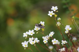 Antraigues sur Volane - Ardèche - papillon
