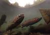 Steelhead (Fish as art) Tags: flyfishing trout steelhead biodiversity truite vedderriver chilliwackriver steelheadfishing britishcolumbiasalmon salmonids bcsteelhead troutunderwater underwatersteelhead canadianfishes paulvecseiphotography bctrout