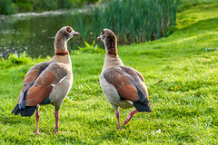 Birds (stephanrudolph) Tags: park uk england bird london water animal nikon gb handheld 2470mm 2470mmf28 d700 2470mmf28g