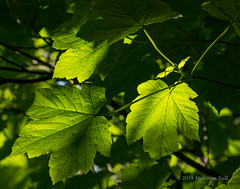 Light Through Leaves (20) (Malcolm Bull) Tags: park wood green leaves downs sussex south national backlit include 20140511downland0020edited1web