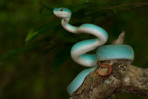 Blue Trimeresurus albolabris insularis