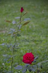 Istanbul Roses (Aisha Altamimy) Tags: travel roses turkey chair feeding istanbul sultan taksim doves ayub taqsim