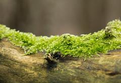 Zartes grn (blumenbiene) Tags: wood tree green forest moss spring fresh holz wald baum moos frhling