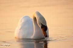 Schwan (tonifotografie) Tags: winter see wasser sonnenuntergang vögel schwan vogel neubrandenburg schwäne tollensesee