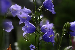 Handbells of joy! :)) (halina.reshetova) Tags: lighting flowers blue light summer plants flower colour macro green nature water june bluebells canon hair petals drops shine bright blossom bokeh background vivid drop loveit droplet summertime blob campanula bluebell shining handbell handbells autofocus coffeetime harebell bellflower bellflowers byelorussia campanulas amiamoci exquisiteflowers canoneos1000d christiangroup fleursetpaysages virgiliocompany flickrbronzetrophygroup itsallaboutflowers floralaromas soulgroup 03062014 20022015 mozir handbellsofjoy
