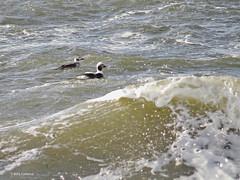 Long-tailed Ducks (Beth Fishkind) Tags: ocean winter ny newyork birds coast birding ducks longisland shore waterfowl birdwatching nonbreeding superzoom pointlookout longtailedduck bridgecamera