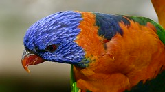 Red Collared Lorikeet (Rodger1943) Tags: