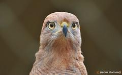 Caador (p.damasiofotografia) Tags: zoo gavio caador