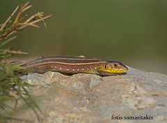 Lacerta trilineata (Fotis Samaritakis) Tags: fauna crete lizards reptiles  lacertatrilineata   fotissamaritakis