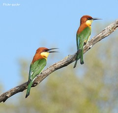 Chestnut-headed Bee-eater (flickr quickr) Tags: beeeaters chestnutheadedbeeeater meropsleschenaulti srilankanbirds