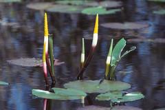 Golden Club (philipbouchard) Tags: plant flower yellow georgia spring aquatic araceae okefenokeeswamp orontiumaquaticum goldenclub orontium