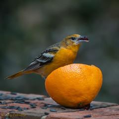 Baltimore Oriole (Roy Cohutta) Tags: orange bird birding baltimore jelly grape oriole roycohutta