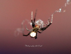 Spider (alifazil) Tags: nature insect spider