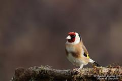 Chardonneret Elgant. (raphal21370) Tags: nature birds wildlife oiseaux chardonneretlgant