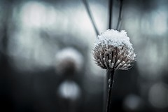 Dead Of Winter (Thomas James Caldwell) Tags: blue cold nature dead natural bokeh pennsylvania farm january pa trust lands polar preserve 2015 hildacy