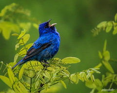 indigo bunting solo (jaki good miller) Tags: blue bird nature singing wildlife feathers birdsong ave indigobunting birdsinging
