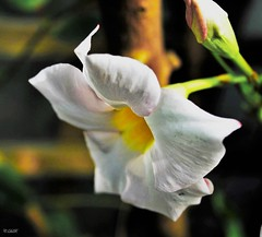 Nicotiana alata (C.DeR) Tags: nature whiteflower nicotiana cder flowerscolours