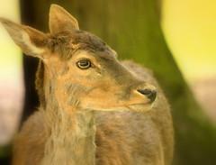 """ Damhert Dreilnderwald "" (Kalbonsai) Tags: eye closeup germany nikon forrest deer wald auge hert damhert 55300mm d5100 naturphotography naturshot dreilnderwald"