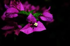 Cores da vida (R. Bonachella) Tags: flower color nature focus purple vibrant ngc explore ng roxo foco explorar