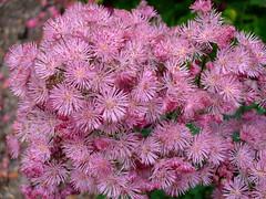 Thalictrum aquilegifolium 'thundercloud' (yewchan) Tags: flowers flower nature colors beautiful beauty closeup garden flora colours gardening vibrant blossoms blooms lovely thalictrum thalictrumaquilegifolium