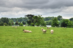 Sheep, Eastwell Court Farm (Aliy) Tags: trees lake field grass countryside kent sheep farm flock lambs livestock grazing agricultural bucolic eastwell eastwellcourt