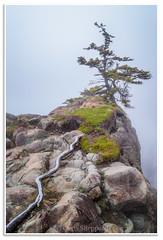 Little Split Cove Tree and Fog (Fundy Rocks) Tags: cliff mist tree green fog moss spring novascotia hiking climbing root treeroot capesplit littlesplitcove