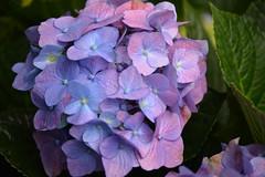 Hydrangea (Jason Rosenberg) Tags: california blue plant flower macro green nature colors beautiful up catchycolors outdoors nikon close purple natural sandiego grow petal gift hydrangea nikond5200