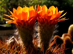 questa mattina (franco borghero filippini) Tags: piantegrasse succulente canons90