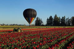 Over the Rainbow (Synapped) Tags: tractor hot flower field oregon shoe wooden spring farm air balloon tulip woodburn