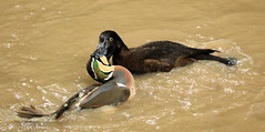 French duck kiss ! (Carahiah) Tags: fight bec combat animaux rhodes canard saintecroix parcanimalier