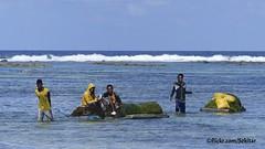 Sea weed harvest at Pantai Lobo Hede, Sawu Barat (Sekitar) Tags: sea indonesia island weed laut harvest lobo seetang pulau pantai nusa ntt barat hede sabu nusatenggara rumput savu sawu nusatenggaratimur