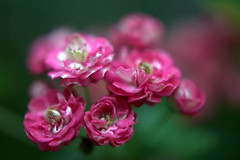DSC_0095.NEF (tibal26) Tags: flower closeup natural x10