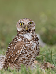 I got my eye on you! (ruthpphoto) Tags: nature burrowingowl