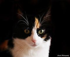 mimine (laurek.photography) Tags: pet black cat chat noir portait fond
