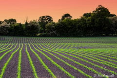 152/366 As The Sun Sets Over The Fields (crezzy1976) Tags: uk trees sunset england orange lines golden countryside nikon cheshire outdoor photoaday fields crops 365 day152 d3100 crezzy1976 photographybyneilcresswell 366challenge2016
