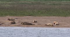 Seals - Boston Belle - Summer 2016 #4 (PontyCyclops) Tags: boston belle river cruise bird watching birdwatching tour the wash south lincs lincolnshire rspb royal society for protection of birds nature wildlife witham mudflats waders harbour seals seal basking