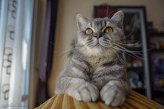 I'm the Queen! (Vladimir Lazarov) Tags: pet cat nikon 20mm nikkor fx britishshorthair d610