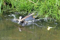 Nest bouwer (HOMCN) Tags: water amsterdam duck nest gras schiphol raaf eend vogel kikker hoen kraai fuut waterhoen kwaak waterkip sloor roek