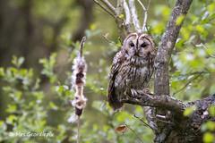 Tawny Owl (Mrs.Geordiepix) Tags: owl tawny