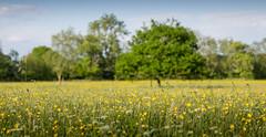 Eades Meadow (ianjoseph273) Tags: flowers summer green field spring wildlife meadow fosters trust worcestershire depth unspoilt eades