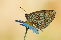 Melitaea deione (2) (JoseDelgar) Tags: ngc npc margarita mariposa insecto wilddaisy blueribbonwinner melitaeadeione platinumheartaward contactgroups coth5 josedelgar sunrays5
