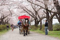 (GenJapan1986) Tags: 2016         iwate japan spring  animal horse nikond610 cherryblossom